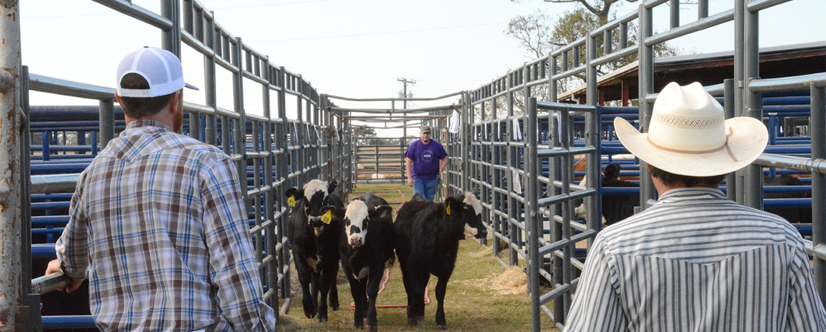 students working cattle